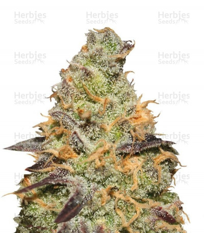 Buy Blue Kush Berry feminized seeds