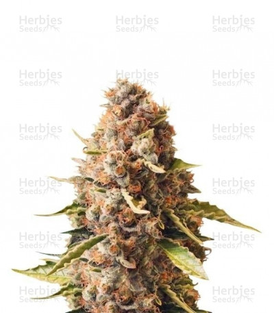 Buy Euphoria CBD feminized seeds