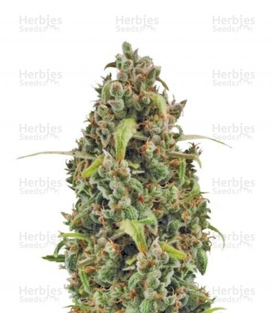 Buy Diesel Automatic feminized seeds