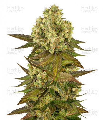 Buy Sour Blueberry feminized seeds