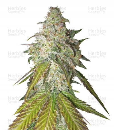 Buy Sour Diesel feminized seeds