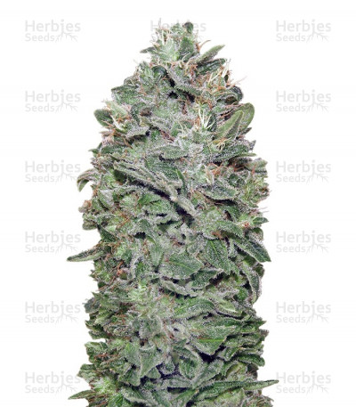 Buy Sweet Soma feminized seeds
