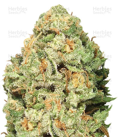 Buy Fruit Punch feminized seeds