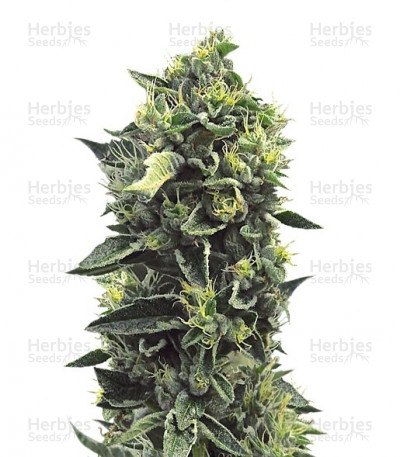 Buy OG Kush feminized seeds