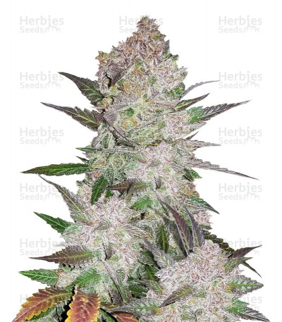 Buy Cream Cookies auto feminized seeds