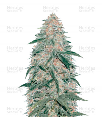 Buy AK-77V feminized seeds