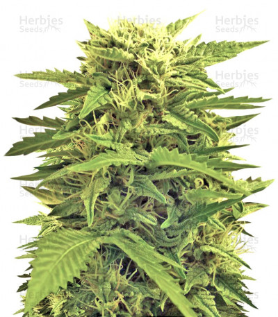 Buy Auto Super Hash feminized seeds