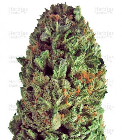 Buy Budzilla feminized seeds