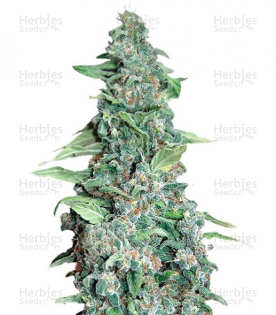 Buy Honey B feminized seeds