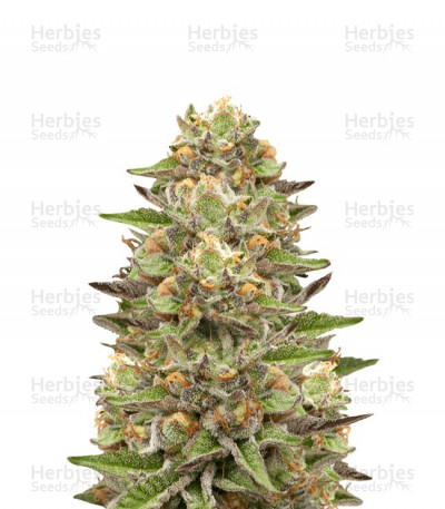 Buy Green Gelato feminized seeds