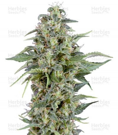 Buy Auto Kryptonite feminized seeds