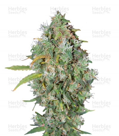 Buy Burmese Kush Feminized seeds