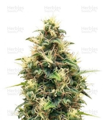 Buy Somango XL feminized seeds