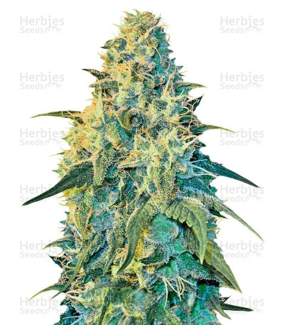 Buy White Dragon feminized seeds