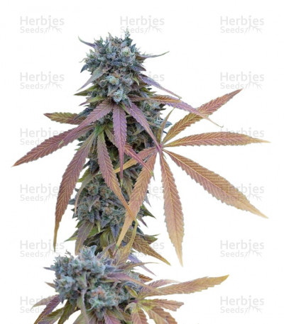 Buy Blue Kush Autoflowering feminized seeds
