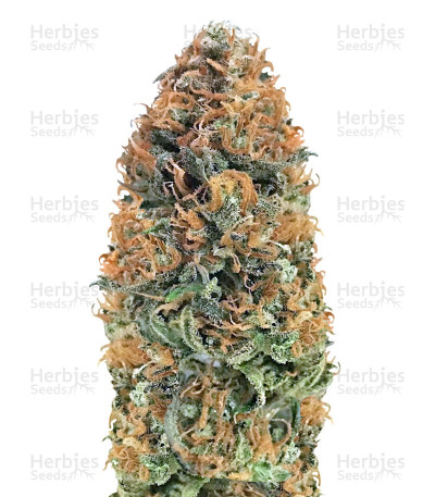 Buy Bubblelicious Regular seeds