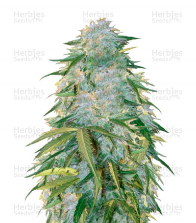 Buy Auto Heaven feminized seeds