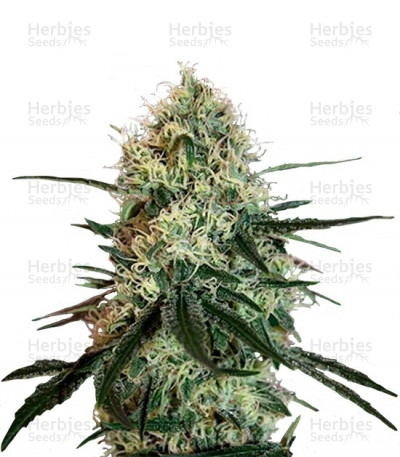 Buy Chronic Thunder feminized seeds
