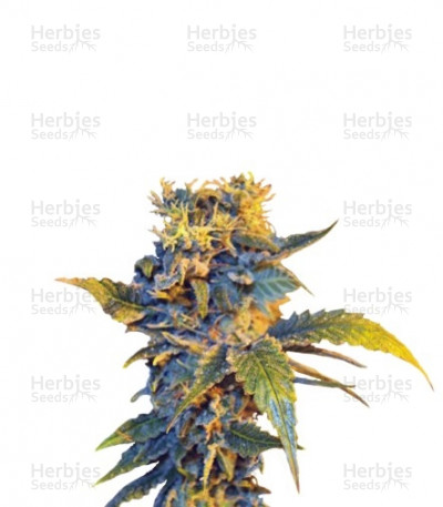 Buy Colombian Sweet feminized seeds