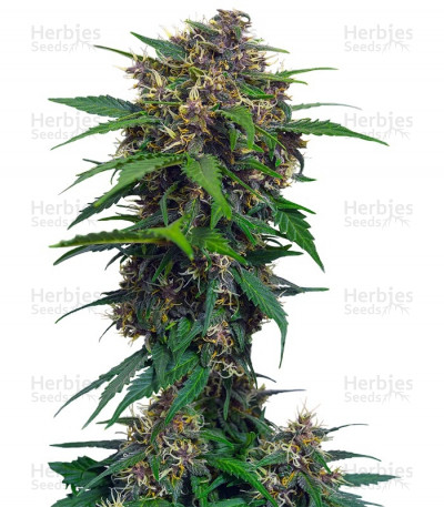 Buy Red Poison Auto feminized seeds