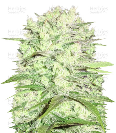 Buy Thunderstruck feminized seeds