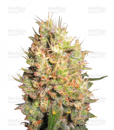 Buy Crazy Miss Hyde feminized seeds