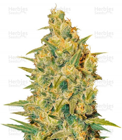 Buy Critical Sensi Star feminized seeds