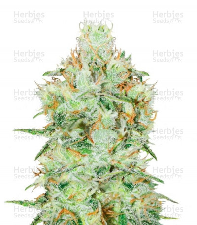 Buy Jägg Kush feminized seeds