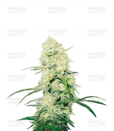 Buy Malakoff feminized seeds