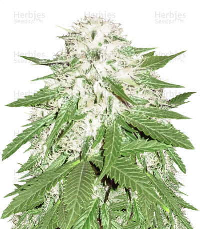 Buy Sumo's OG Kush feminized seeds