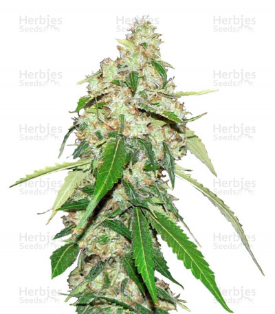 Buy Top Dawg feminized seeds