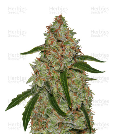 Buy Phantom OG feminized seeds