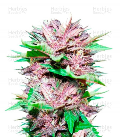 Buy Auto Dark Purple feminized seeds