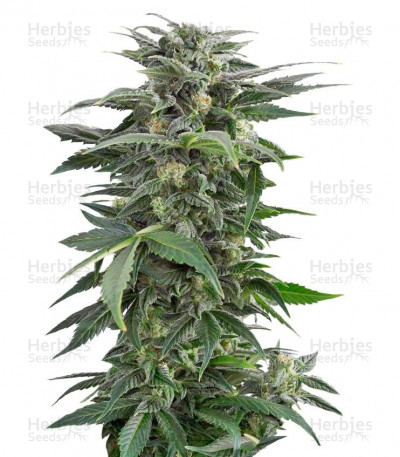 Buy Haze XXL Autoflowering feminized seeds