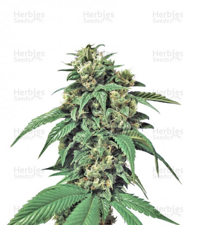 Buy Wreckage regular seeds