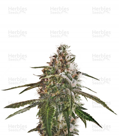 Buy Blue Kush feminized seeds