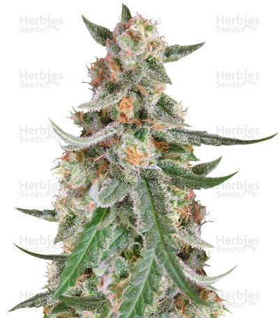 Buy C99 feminized seeds