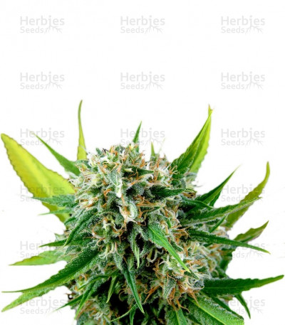 Buy Royale Haze feminized seeds