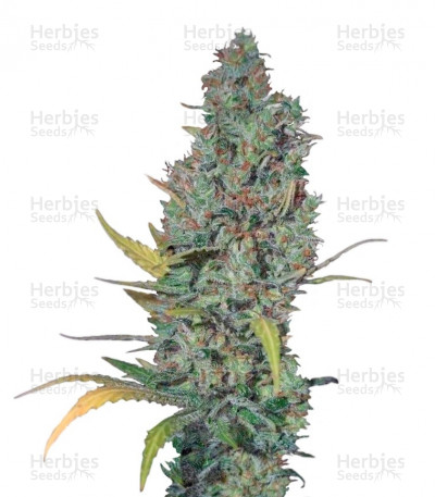Buy Strawberry Amnesia feminized seeds