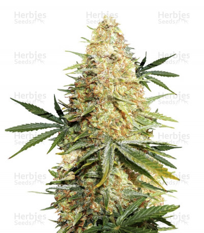Buy Lemon Zkittle feminized seeds