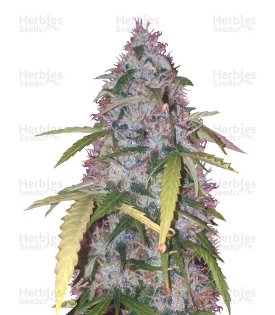 Buy Auto Bubblegum Pro (Auto Bubblegum ) feminized seeds