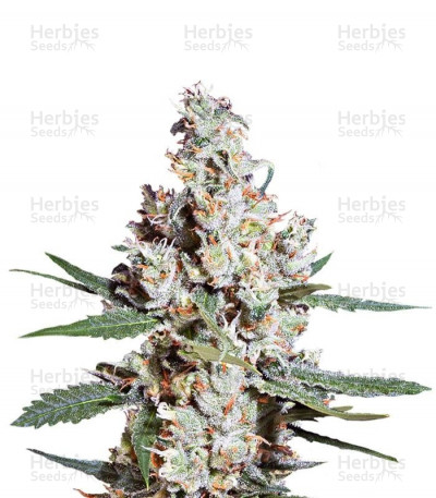 Buy L.A. Amnesia feminized seeds