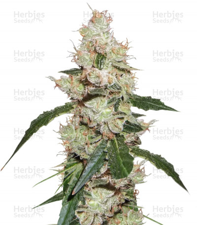 Buy Afghan Kush X White Widow feminized seeds