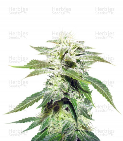 Buy Original White Widow IBL feminized seeds
