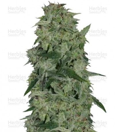 Buy Osiris feminized seeds