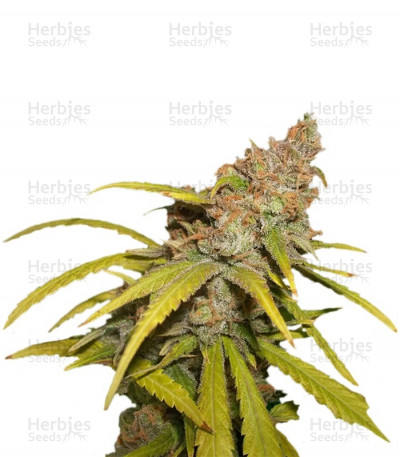 Buy Pineapple Chunk feminized seeds