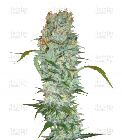 Buy White Russian feminized seeds