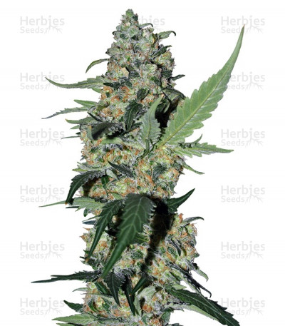 Buy Green Poison F1 Fast Version feminized seeds