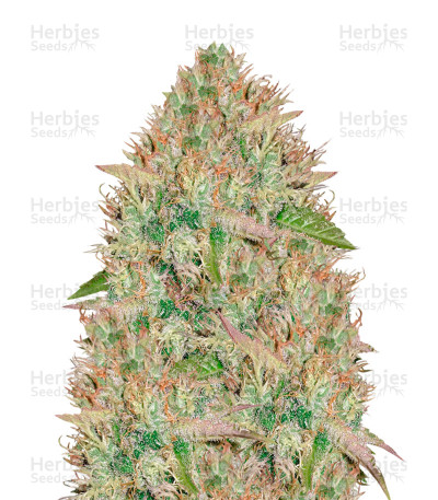 Buy Silver Haze feminized seeds (Vision Seeds)