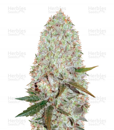 Buy Auto Amnesia Haze feminized seeds